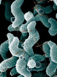 camphylobacter jejuni, Campylobacter Enfeksiyonu