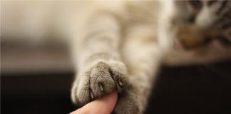 kedi tırmığı hastalığı, kedi pençesi