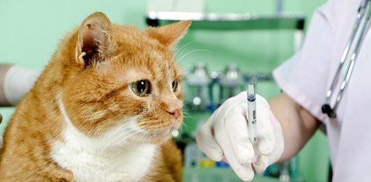 Kedilerde aşı programı